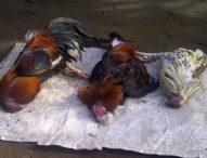 """Ratusan Ayam Warga Mati Kena """"Grubug"""""""