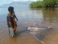 Nelayan Kawalelo Tak Mau Masuk Penjara Hanya Karena Pari Manta