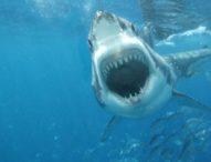 Wisatawan Australia Diserang Hiu di Pantai Balian