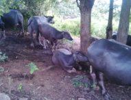 Saudagar Ternak Antarpulau Resahkan Masyarakat Sikka