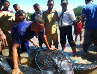 Nelayan Sinar Hadigala Bebaskan Penyu Belimbing