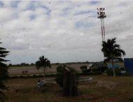Bandara Sumba Timur Diserbu Ribuan Belalang Kembara