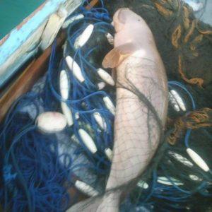 Ikan Duyung dibebaskan Hubertus Keban.