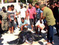 Terjaring Pukat Nelayan Asal Lohayong, Bupati Flotim Antar Penyu Belimbing ke Laut