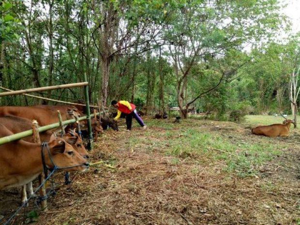 46 Ekor Sapi Gunung Agung Ngungsi ke Bongan Tabanan