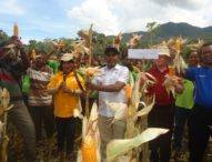 Desa Konga Panen Perdana Jagung Hibrida Bima Batara 14