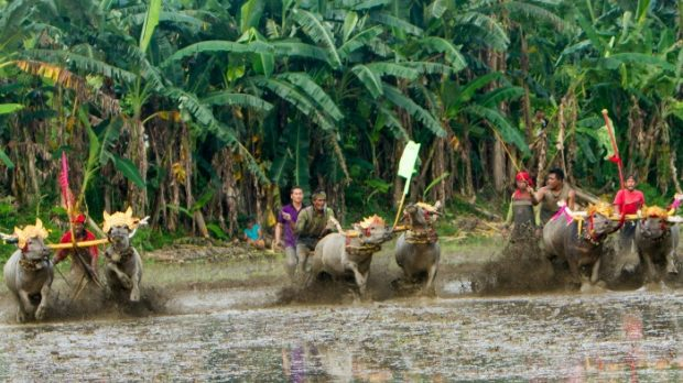 Mekepung Lampit Sedot Wisatawan – Tradisi Jelang Tanam Padi