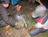 Nelayan Riang Rita Selamatkan Seekor Chelonia Mydas