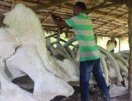 Di Desa Kalelu,Belulang Ikan Paus Jadi Central Ritual Adat Usir Hama dan Minta Hujan