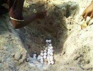 Warga Sulengwaseng Tangkar Telur Penyu