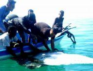 Terjaring Pukat, Seekor Pari Manta dan Dua Hiu Paus dibebaskan Nelayan Solor