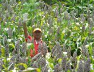Anda Ingin Pendapatan Rp 80 Juta Per Tahun? Ayo Bertani Shorgum