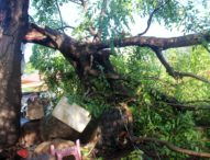 Dahan Reo ambruk Hantam Lapak Pedagang di Pasar Relokasi Pohon Bao, Pedagang Panik