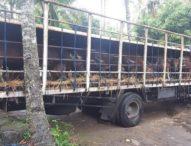 Kadis Peternakan Sesalkan Pengiriman Sapi Bali yang Sempat Ditahan di Ketapang