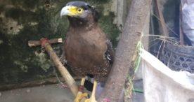 Jual Burung Elang di FB, Winata Diciduk Polisi