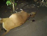 Tabrak Sapi Kades Klatanlo ,Mantan Kepala Dusun B Terpental, Sapi Tewas Seketika