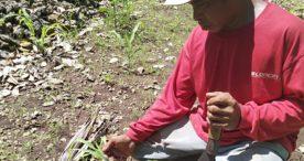 Tanaman Jagung Dikeroyok  Hama, Petani Solor  Resah