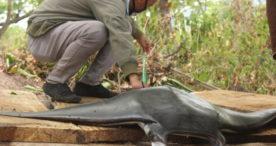 Tim Satwas SDKP Flotim Indentifikasi Pari Mobula di Solor Selatan